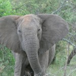Tuskless Bull Elephant